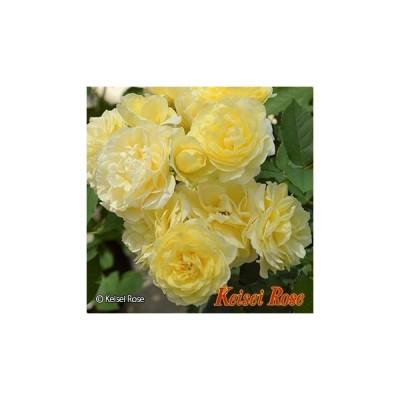 ★バラ苗★F★ 恋きらら(こいきらら) ◎カップ咲きの花が、ブーケのような房になり、繰り返し咲きます♪ 7号 京成