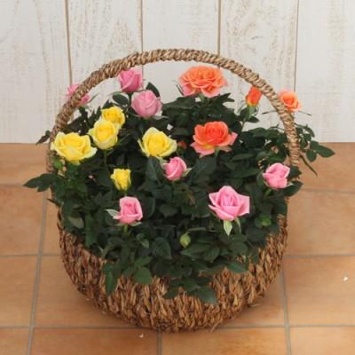 ミニバラバスケット「パニエ ド フルール(ミックスカラー)」 ラン・鉢物・観葉植物
