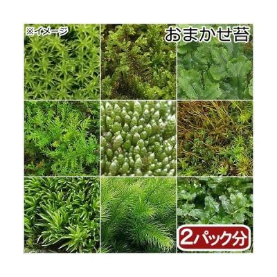 (観葉植物)苔 おまかせ苔 2パック分