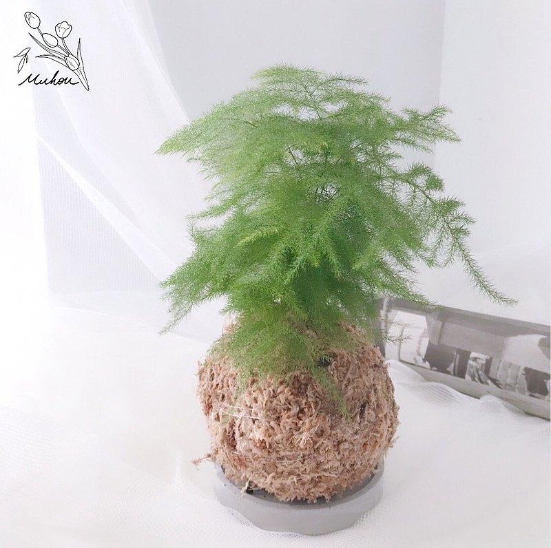 苔球 文竹 植栽 附大理石紋水泥底盤