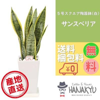 人気の観葉植物 おしゃれ サンスベリア プレゼント 5号 スクエア陶器鉢 白 ギフト 誕生日 自分用 インテリア 風水 マイナスイオン 高さ約65cm