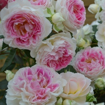 バラ苗 新苗植え替え ホリデーアイランドピオニー ハイブリッドティー HT 複色系