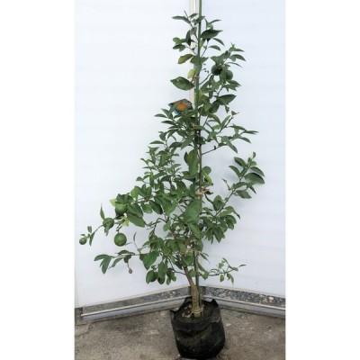 レモンの木 マイヤーレモン 特大株 約1.6m 特大苗木 現品発送 檸檬の木 観葉植物や鉢植えに 送料無料