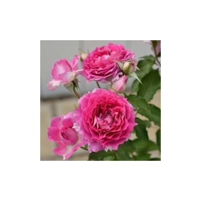 予約販売 バラ苗 バラ大苗 ロサ オリエンティス シェエラザード 登録品種  四季咲き 薔薇 バラ hao 12月上旬以降発送