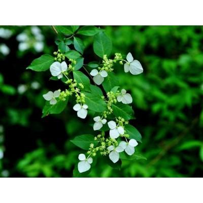 コガクウツギ 0.2m10.5cmポット 1本 1年間枯れ保証 春に花が咲く木