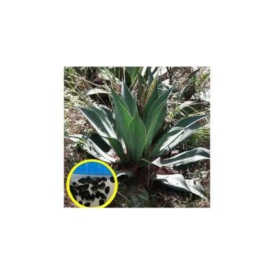 アガベ・インターミクスタ(Agave intermixta)の種子