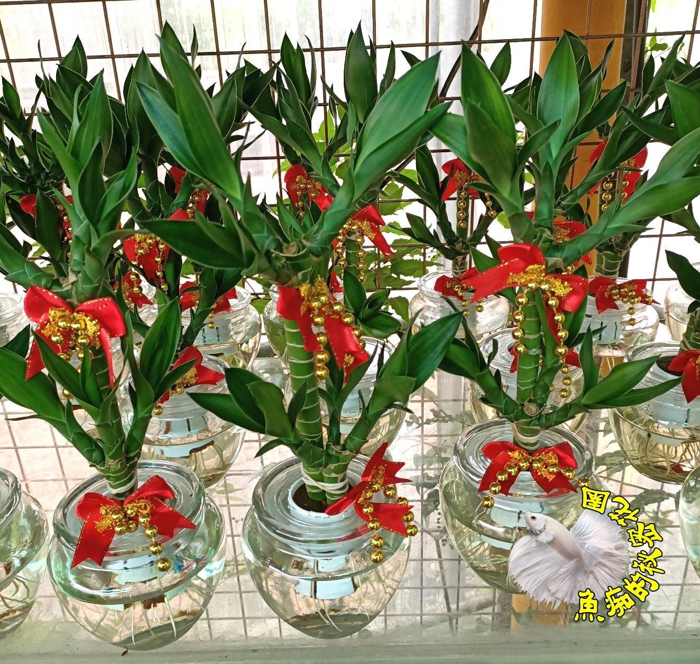 [請先詢問,確認有沒有貨!] [水耕開運竹盆栽 ] 專利玻璃瓶 水耕植物盆栽 可放室內 需光線充足的環境~半日照更好