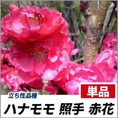 ハナモモ 照手(テルテ) 赤花 樹高1.8〜2.0m前後(根鉢含まず) 単品