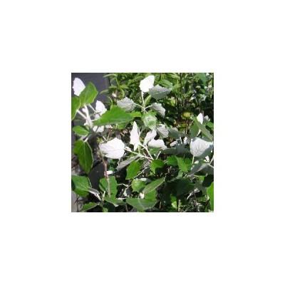 ギンドロ(ウラジロハコヤナギ) 樹高20〜30センチ程度