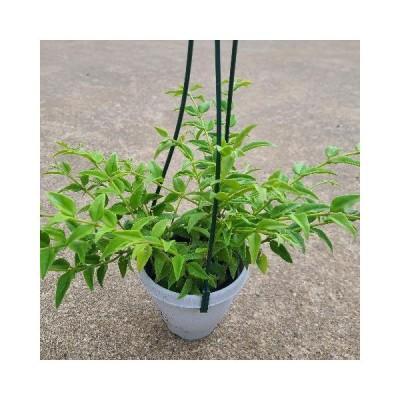 【観葉植物】ホヤ・ベラ Hoya bella【4号】