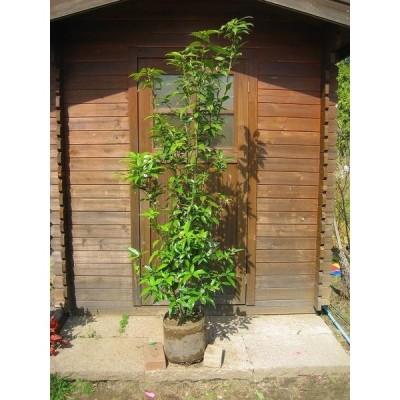 アラカシ(粗樫) 株立 樹高1.8m前後 露地苗 シンボルツリー 常緑樹