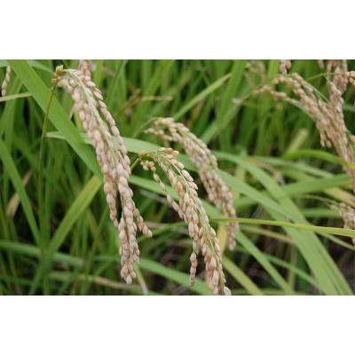 送料無料●国内産 玄米 10kg●認定農業者生産品