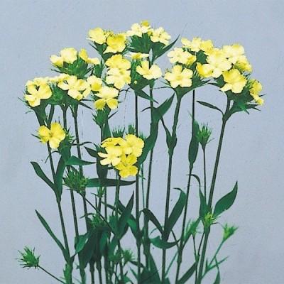 種 花たね 切花向き ナデシコ ナッピー 1袋(100粒)