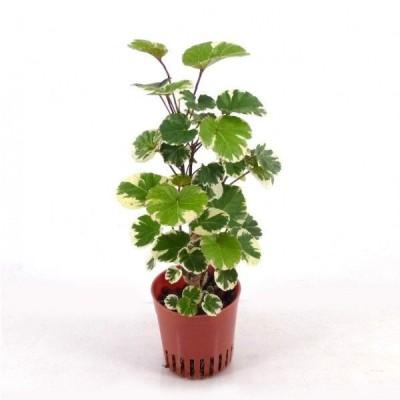 ポリシャス マルギナータ(外白斑) ハイミニ苗 3号 9Φ 観葉植物 ハイドロカルチャー 水耕栽培 インテリアグリーン
