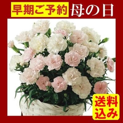 母の日 2021 ギフト やさしい花色のピンクから白へ移り変わる カーネーション鉢植え クレアライトピンク 5号鉢 送料無料 お届け期間5月4日〜9日 フラワー 花