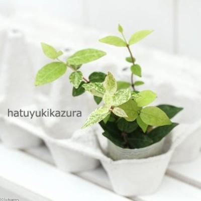 (観葉植物)ミニ観葉 オアシス苗 ハツユキカズラ(初雪葛)(1苗)