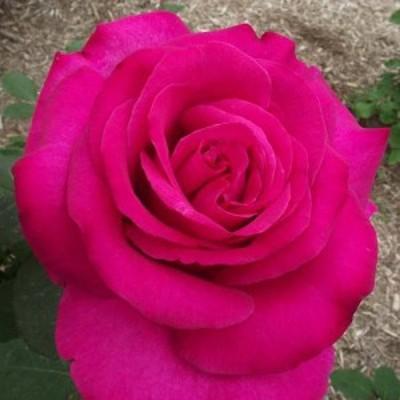 【12/29-1/6出荷停止】バラ苗 2年大株 4号 パローレ Hybrid tea Roses H1136 送料無料 贈答 大感謝祭 お歳暮