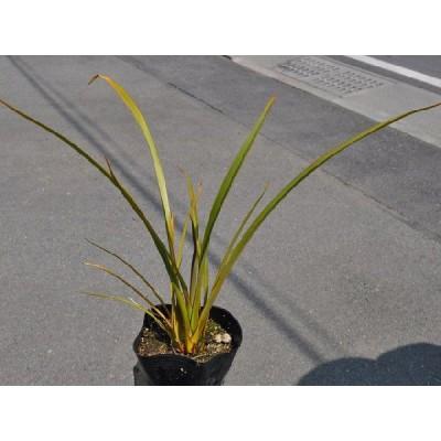 ニューサイラン グリーン 12cmポット 1本 1年間枯れ保証 下草