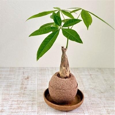 アクアプラントポット玉-S鉢植えパキラ