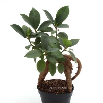 ガジュマル・根上り 1ポット 【 ビバリウム、パルダリウムに使いやすい植物 】