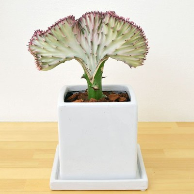 多肉植物 ユーフォルビア・ラクテア・クリスタータ(マハラジャ) キューブ陶器鉢植え