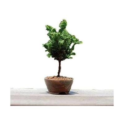 石化桧(ひのき)苗木素材-盆栽鉢丹山作-自分で作るミニ盆栽-石化檜(ヒノキ)-おしゃれな初心者セット