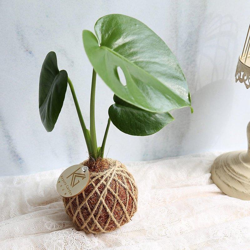 快速出貨*PD4/龜背芋/小苔球 交換禮物 開幕賀禮居家綠化觀葉植物
