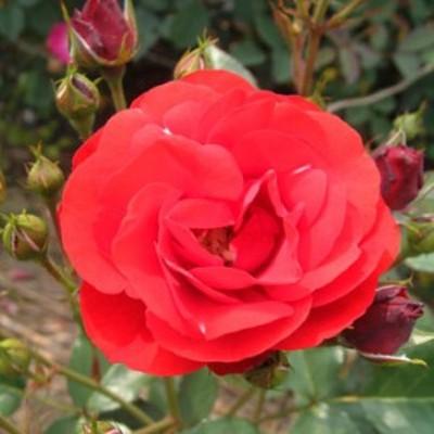 【12/29-1/6出荷停止】バラ苗 2年大株 4号 イングリットウェイブル Floribunda Roses F1307 送料無料 贈答 大感謝祭 お歳暮