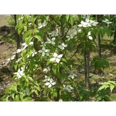 常緑ヤマボウシ 月光株立ち 2.0m露地 1本 1年間枯れ保証 春に花が咲く木