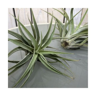 インテリア 観葉植物 エアプランツ パルダリウム テラリウム チランジア カクティコラ