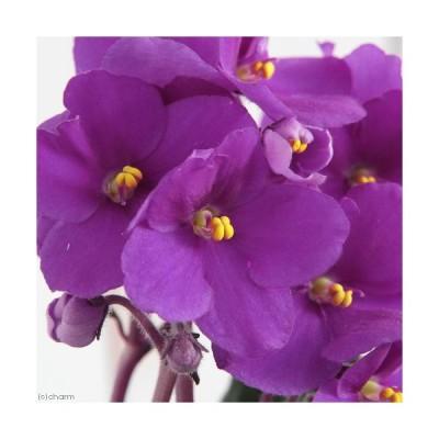 (観葉植物)セントポーリア アキラ オプチマラ種 3.5号(1鉢)