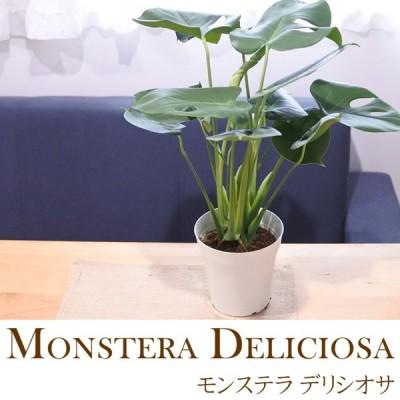 モンステラ デリシオサ 5号鉢 送料無料 観葉植物 インテリア おしゃれグリーン インテリア おしゃれ