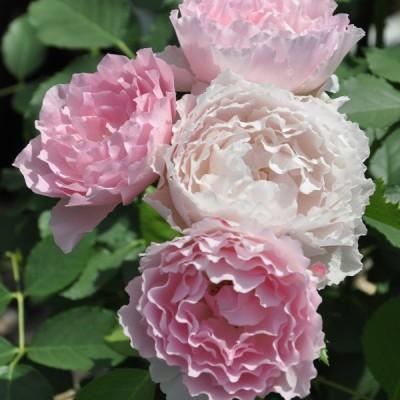 バラ 「ジャンティーユ」春苗 (新苗) ピンク 四季咲 河本バラ園 ブランドローズ バラ苗 薔薇 (202108)