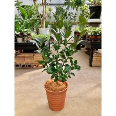 フランスゴム 8号 茶陶器鉢 (フィカス・ルビギノーサ) 観葉植物 ゴムの木 販売 苗 苗木 鉢植え 送料無料