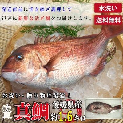 真鯛 水洗い 1尾 (1尾あたり約1.6kg) 養殖真鯛 お作り お祝い ギフト お食い初め たい 業務用 父の日 魚真