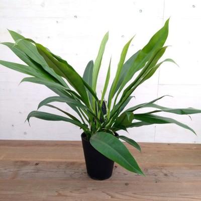 観葉植物/フィロデンドロン クラシネルビウム 7号鉢植え