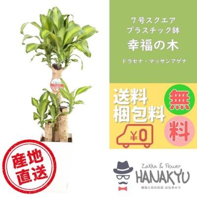 人気の観葉植物 幸福の木/マッサンアゲナ おしゃれ 風水 7号 スクエアプラスチック鉢 受け皿付き 高さ約100cm