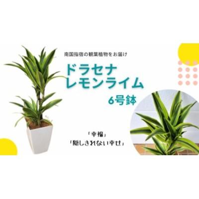 【観葉植物】ドラセナレモンライム6号(Green Base)T-026