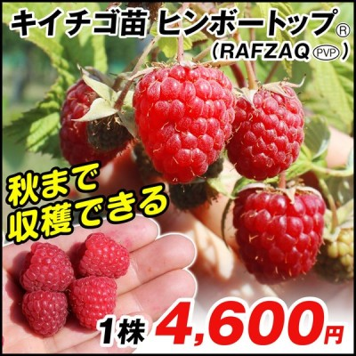 ラズベリー 苗 ヒンボートップR (RAFZAQU PVP) 1株 / キイチゴ 木苺 木いちご 苗木 果樹苗 国華園