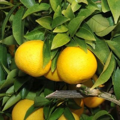オレンジ 苗木 【黄金柑 (おうごんかん)】 1年生 接ぎ木 ポット苗