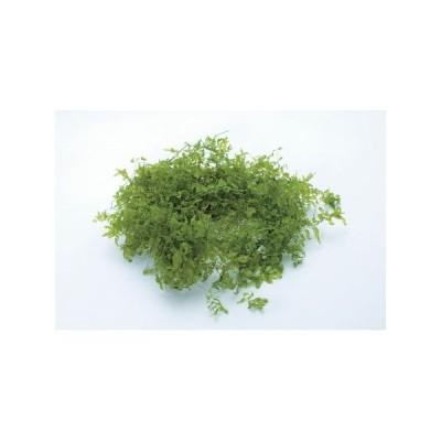 即日 プリザーブド 大地農園 サンウィーバイン 20g フレッシュグリーン 0332-0-731 プリザーブドグリーン 葉物