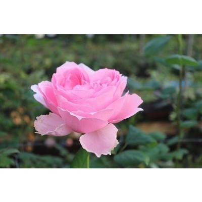 19・NEW・バラ苗・切り花品種接ぎ木 オールドロマンス2〜3号(購入前に下記の重大なコツなどを読んでください)