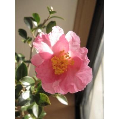 【送料無料】 【庭木】 【山茶花】サザンカ苗  都の春
