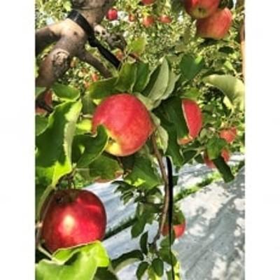 りんご 「葉とらずつがる」 約5kg 訳あり家庭用_A2-816