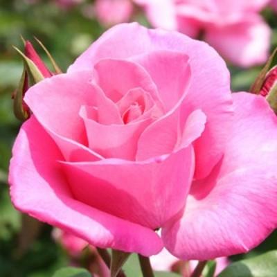 【12/29-1/6出荷停止】バラ苗 2年大株 4号 ドゥフトラッシュ Hybrid tea Roses H0205 送料無料 贈答 大感謝祭 お歳暮