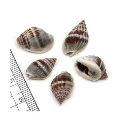 【小さな貝殻パーツ】オオカニノテムシロガイ Sサイズ 5個