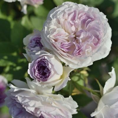 バラの苗/バラの新苗予約:第二弾 四季咲中輪バラ:ブルー・ムーン・ストーン新苗4号鉢植え