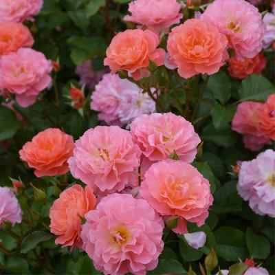 予約販売 バラ大苗 ロサ オリエンティス アリュマージュ 品種登録出願中 繰り返し咲き オレンジ 薔薇 ばら hao 12月上旬以降発送