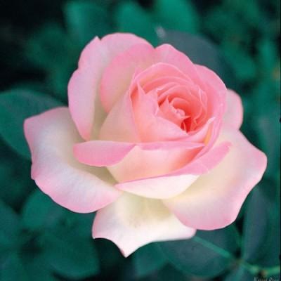 バラの苗/バラの新苗予約:第一弾 ハイブリッドティー:プリンセス ドゥ モナコ新苗