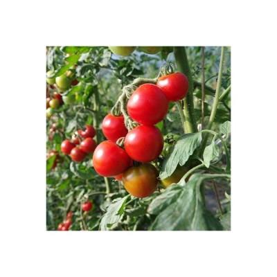 安平町 ふるさと納税 オーガニックミディアムトマト約2.5kg